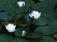 Water lilies image